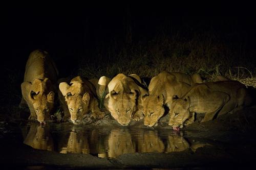 Lionesses | Bush Lodge Sabi Sabi