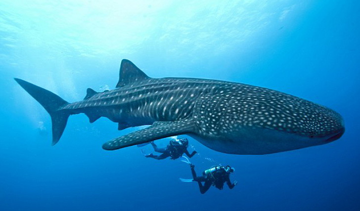 http://www.blacktomato.com/wp-content/uploads/2013/11/ningaloo-reef-whale-shark.jpg