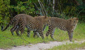 Sri Lanka sopt wild leopards