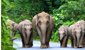 Thailand Elephant walking