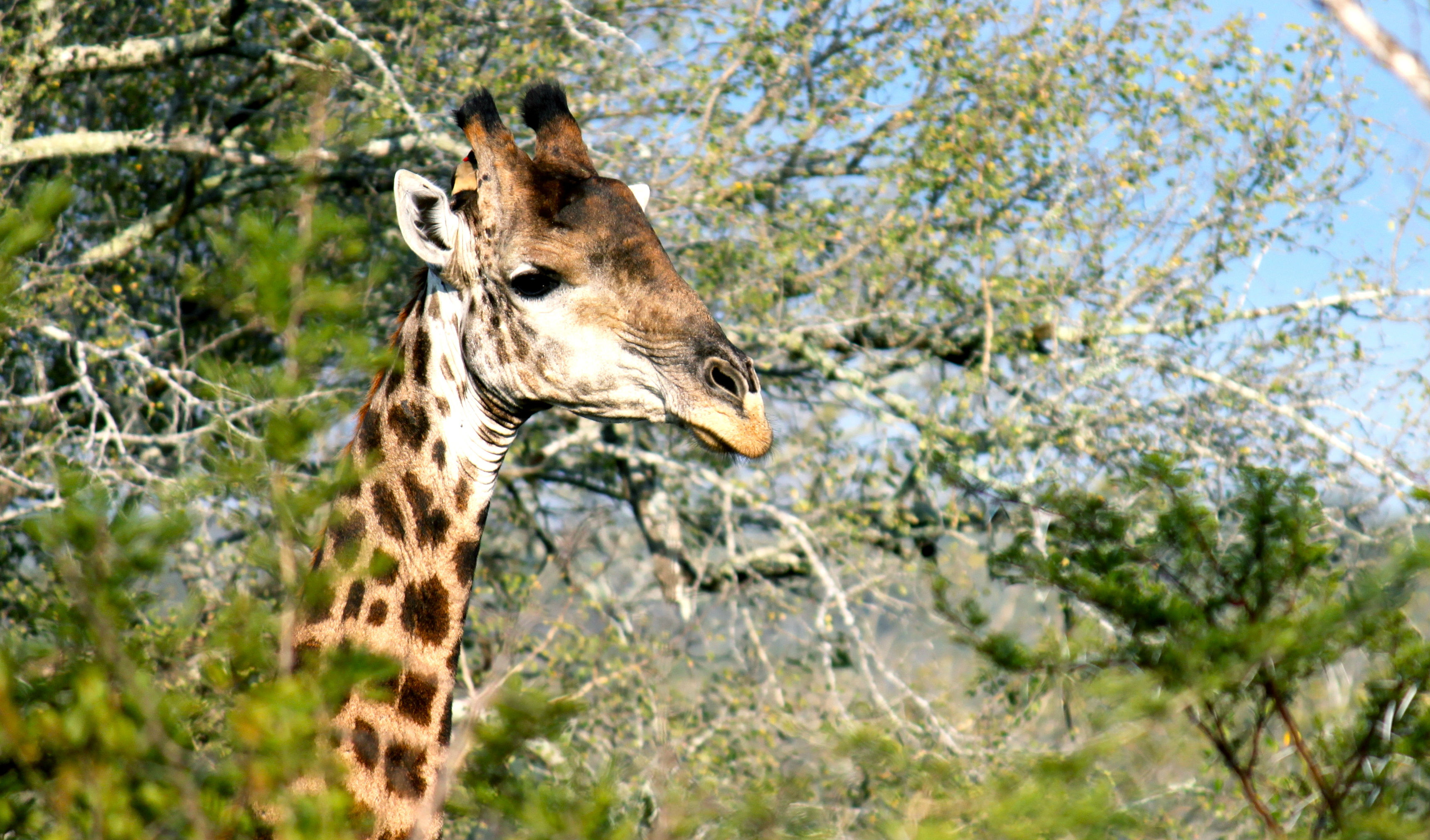 Gaze up at giraffes in the bush
