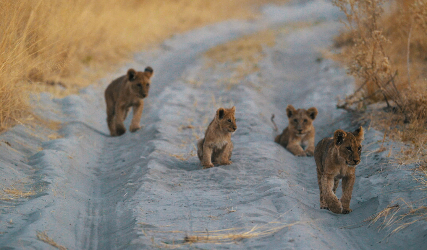 Playful lion cubs on the prowl