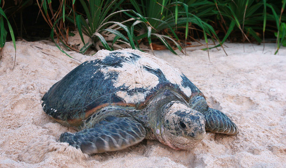 Lookout for green turtles nesting