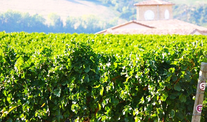 A vineyard at Condé Wine Resort, Italy