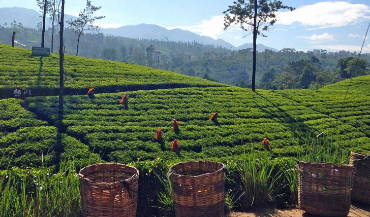Tea holidays in Sri Lanka