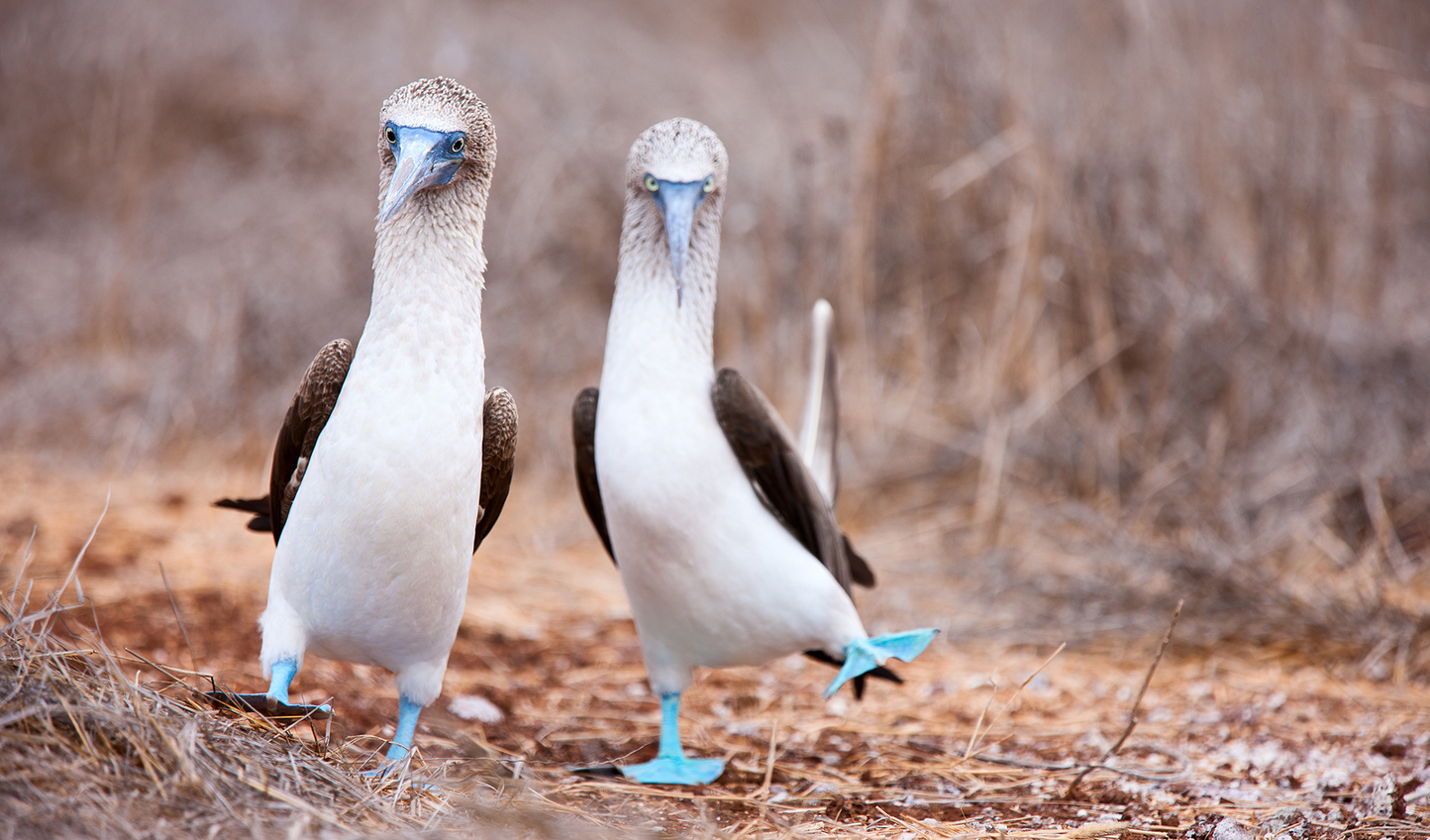 See the blue footed booby