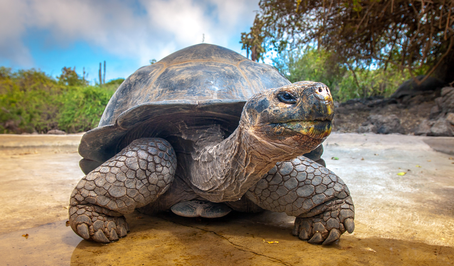 Spot giant tortoises in The Galápagos