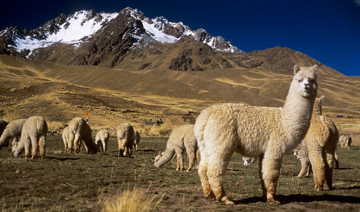 Visit the alpacas in Puno