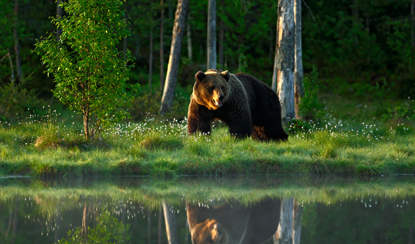 Bear-Reflection