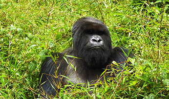 Gorilla in Uganda | Inspired by Experience