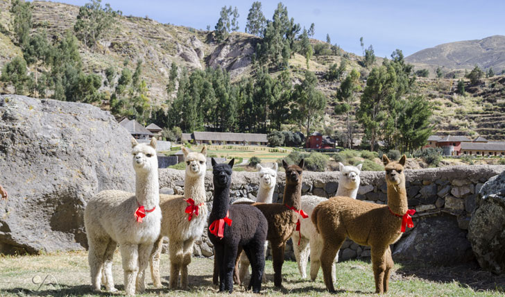 Luxury hotel Alpaca ranch at the Colca Lodge Spa & Hot Springs, Colca Valley, Peru