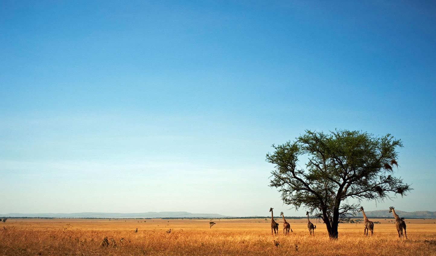 Giraffe on the plains of the Serengeti