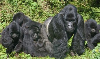 Gorilla in Rwanda | Black Tomato