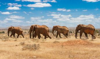 Elephants in Kenya, Sub-Saharan Africa   Black Tomato