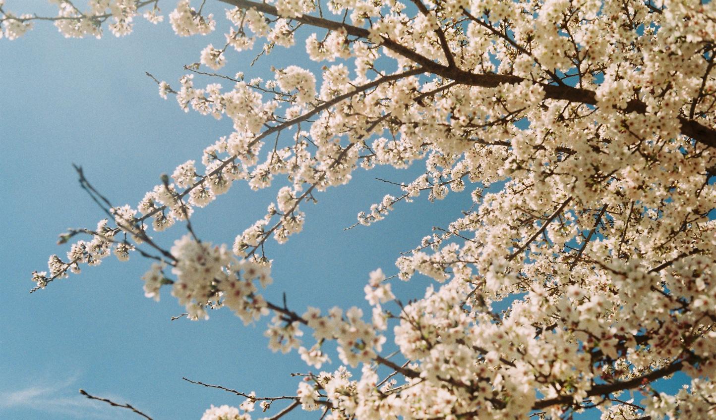 Blossom-in-Lijiang