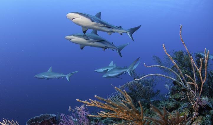 Caribbean reef sharks in Cuba