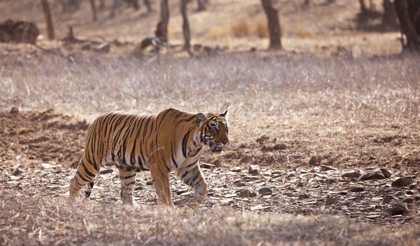 Ramble with tigers in Ranthambore