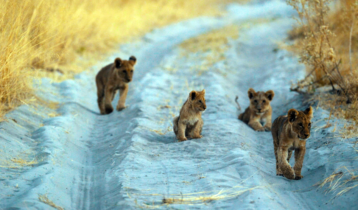And see lovely little lion cubs