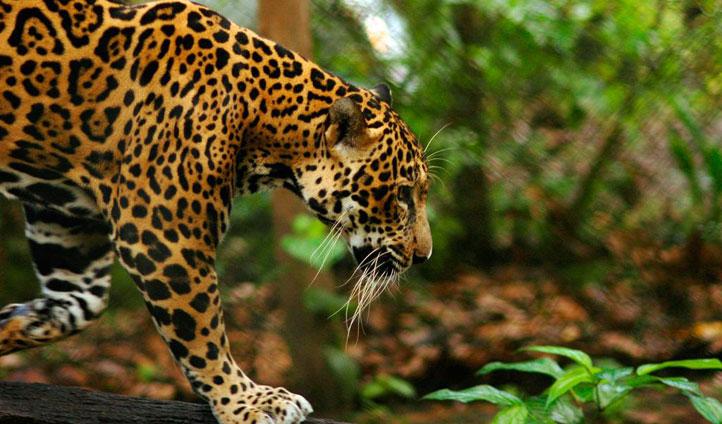 Chaa Creek jaguar, Belize
