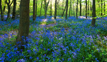 Bluebell woods in Oxford, England