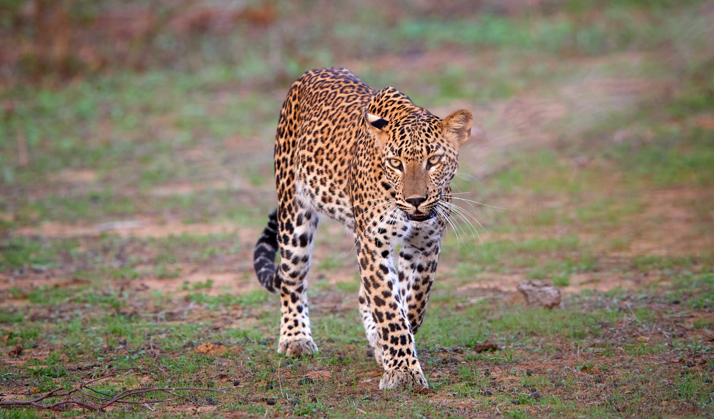 Head out in search of leopards in Yala