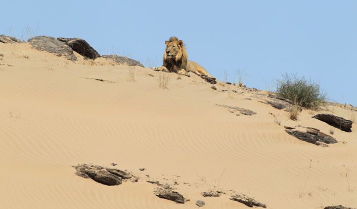 Lions at Skeleton Coast, Namibia