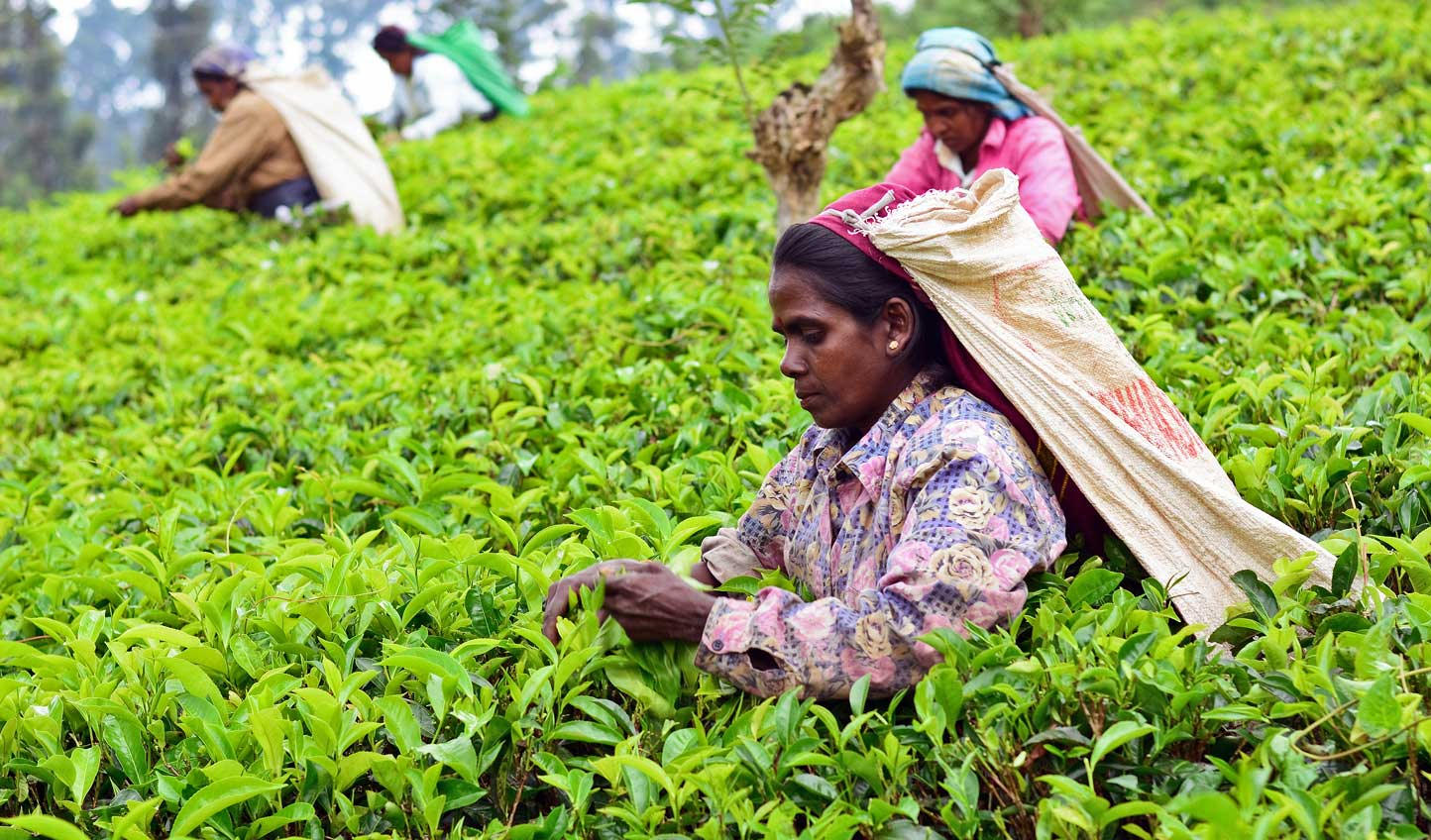 Join the women of Nuwara Eliya out in the tea fields