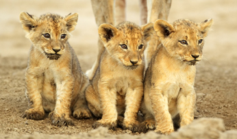 Lion cubs in Zambia
