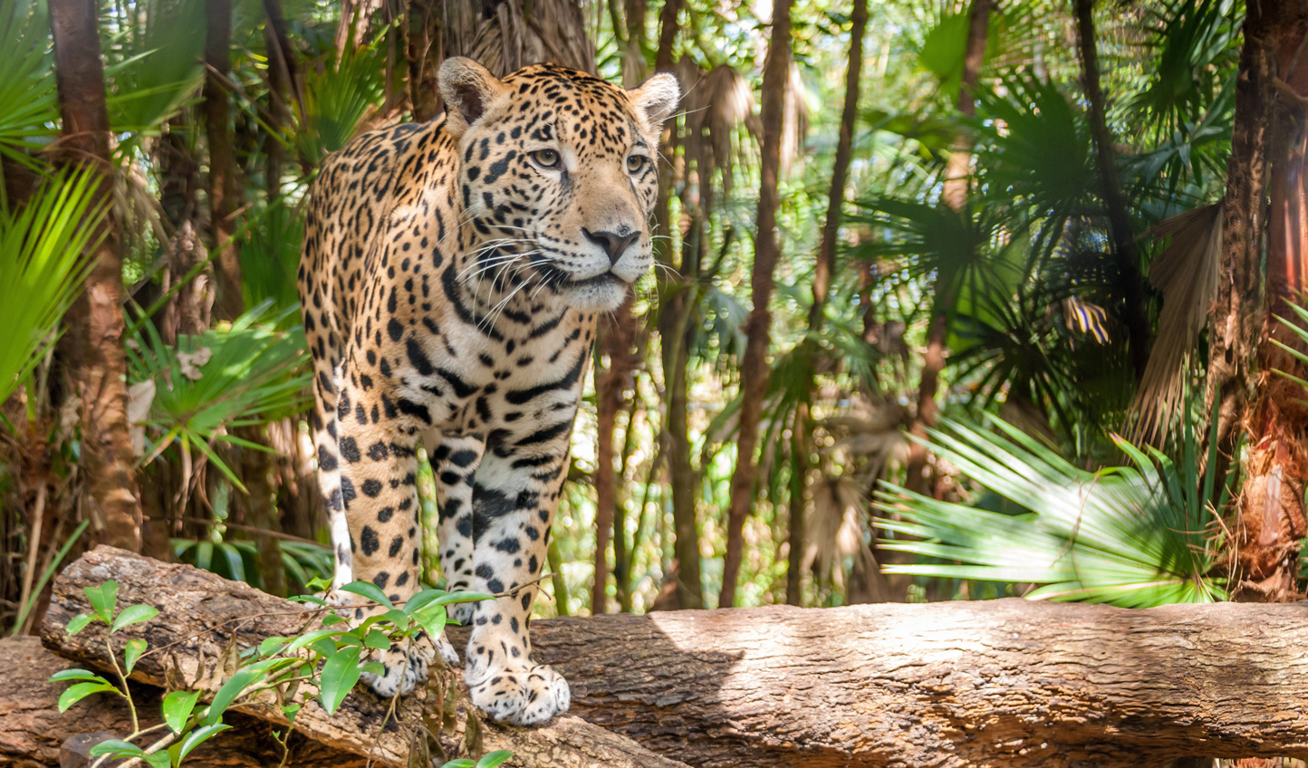 Go in search of elusive jaguars at Chaa Creek