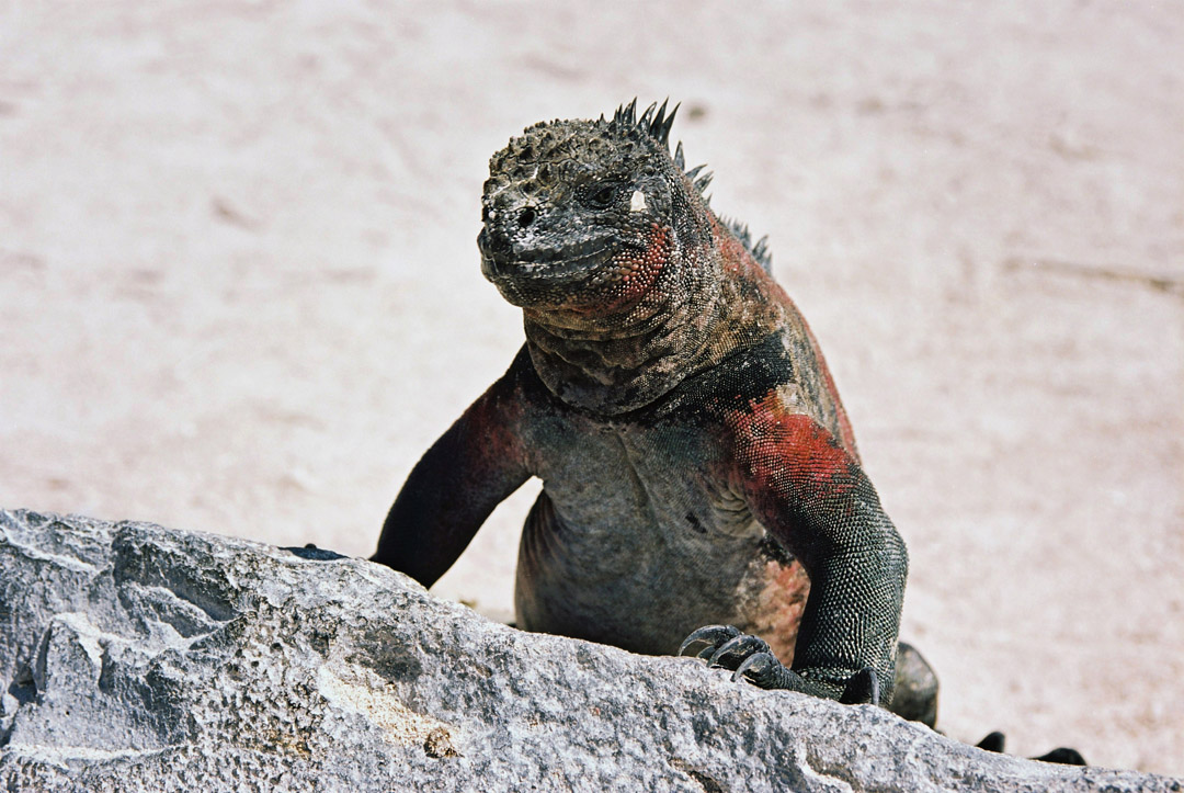 The unique Galapagos pink iguana