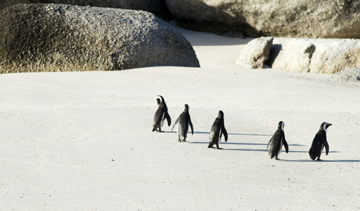 Spot Cape penguins on secret beaches