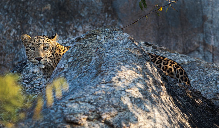 Glimpse the elusive leopard at Jawai Leopard Camp