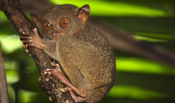 Tarsier Monkey - the Philippines