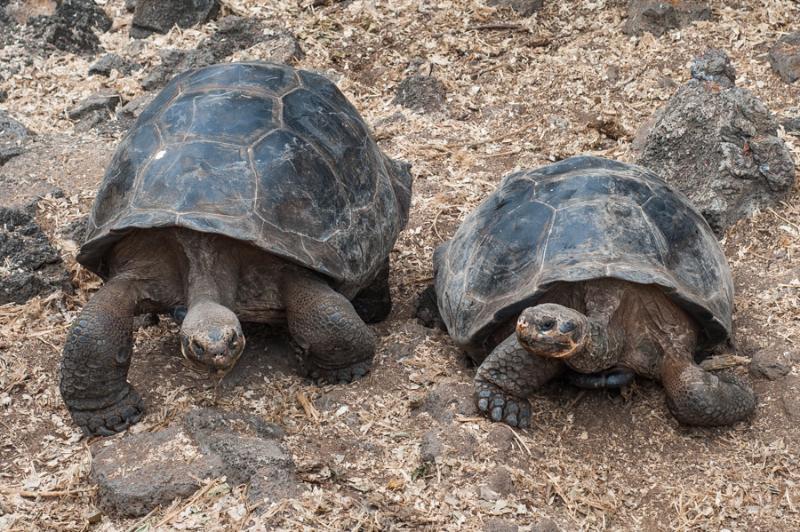 Giant Tortoises on the Galapagos islands