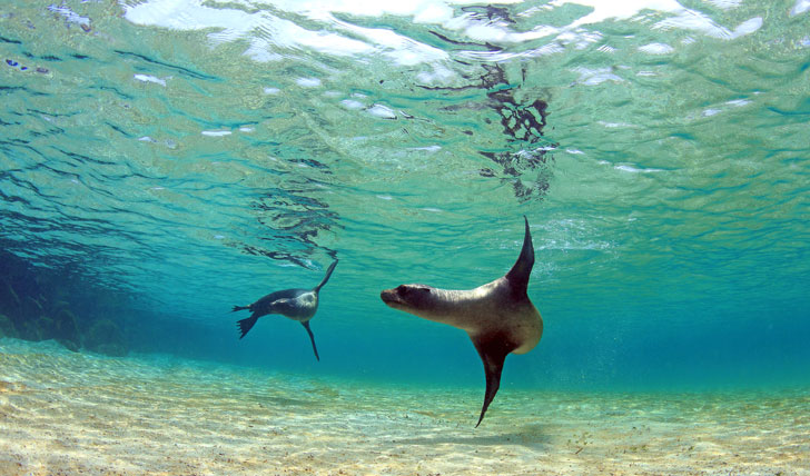Sea lion swimming in the pristine waters of the Galapagos