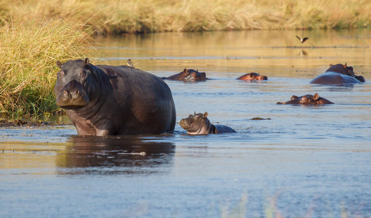Hippos on the delta