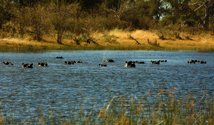 Spy hippos on the river