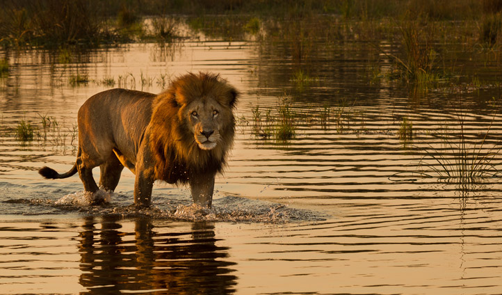 Catch a glimpse of lions on your safari