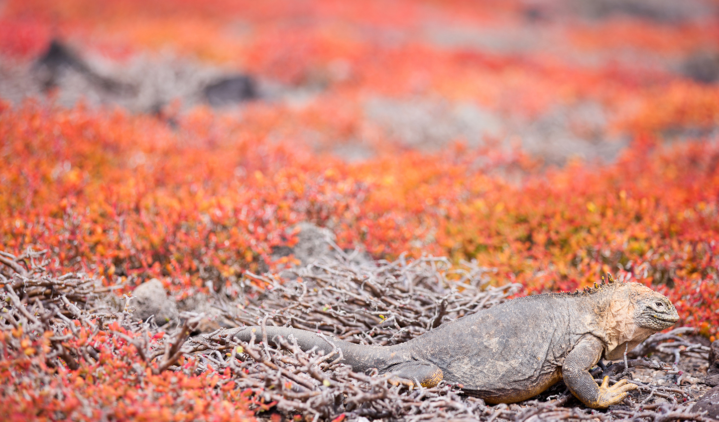 Marvel at the Galápagos pink land iguana