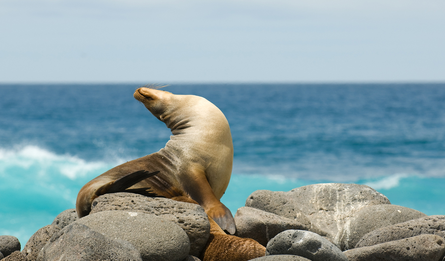 A cheeky sea lion in the Galápagos Islands