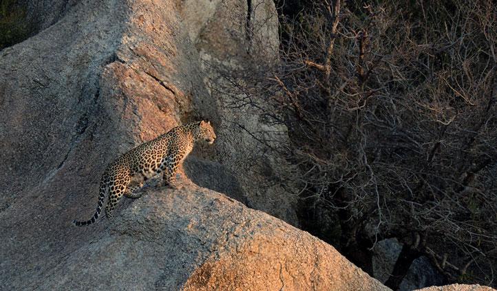 Spot leopards at Jawai