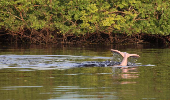Amazon River Dolphin in Colombia
