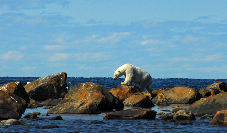 A polar bear on the rocks, Manitoba, Canada