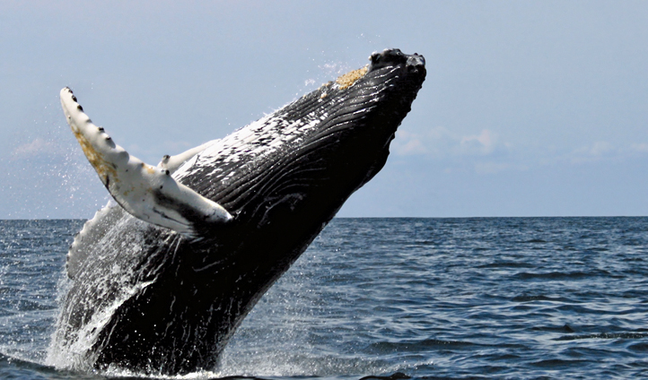A humpbacked whale breaches
