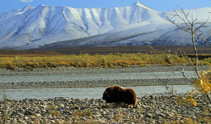 Muskox in the Northwest Territories Landscape.