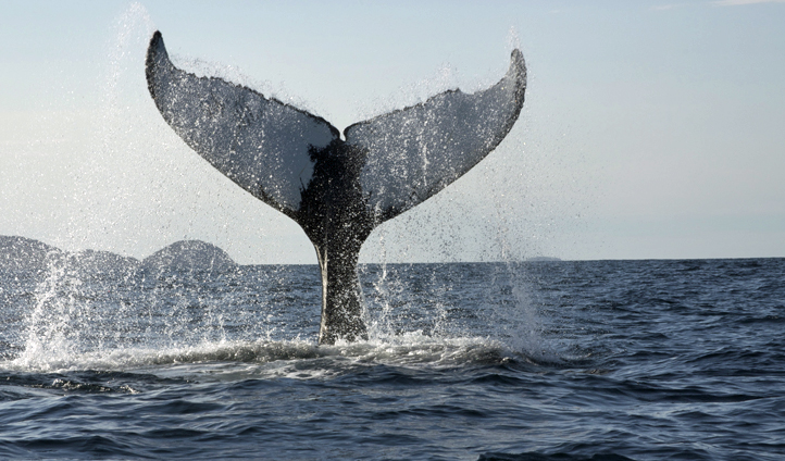 A humpback whale reaches the surface in Fogo Island, Canada