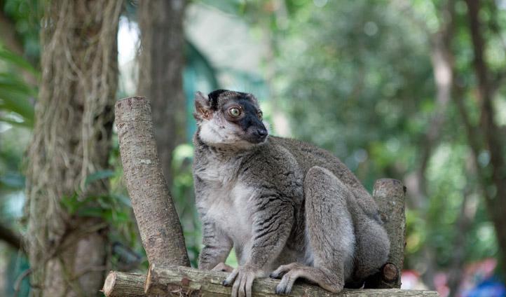 The Olinguito Mammal, Colombia