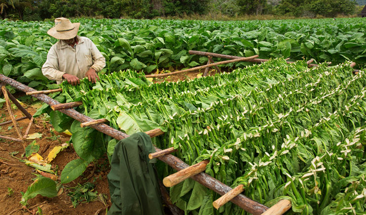 Explore the tobacco plantation and be educated on the art of cigars