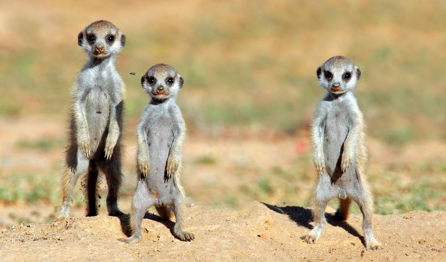Meet the local meerkat colony
