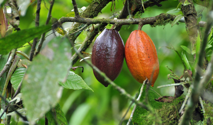 The Cacao plant can be found all over Colombia